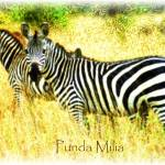 """Zebras (Punda Milia)"" by Positives"