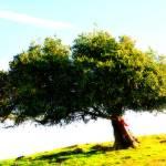 """""""Lone Tree 1"""" by nikumaru"""