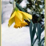 """Snow Daffodil"" by Claudia1967"