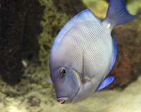 Blue Tang Dives for Food