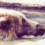 """""""Bathing Bear"""" by SMcElwee"""