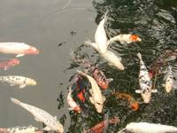 Koi Fishes in a Pond, Hilo, Hawaii