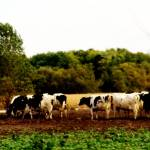 """"""". cows ."""" by Jillian"""