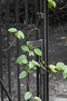 Ivy on Gate