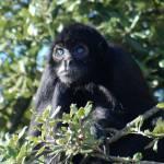 """""""Gibbon"""" by warlock"""
