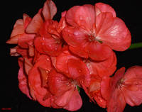 *RED RAINY GERANIUM*