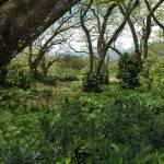 """Macadamia field"" by zupanator"