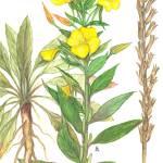 """Oenothera biennis"" by kirke"