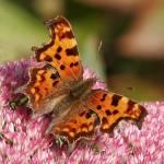 """""""Comma Butterfly"""" by Stevebb"""