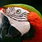 """Scarlet Macaw"" by Stevebb"
