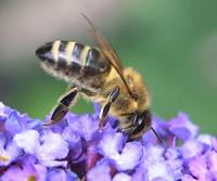 Honey bee on buddlea
