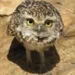 """Burrowing Owl"" by Stevebb"