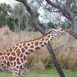 """""""Giraff"""" by lkraus"""