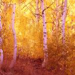 """Fall Aspen Trees June Lake Loop"" by wholehearted1"