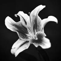 Jen's Valentines Day Flowers-6 b&w square format