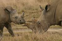 Mother & Baby Rhino