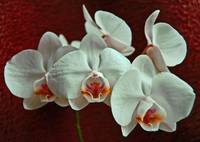 My Fourth Orchid :)
