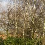 """Birches"" by breeblebox"