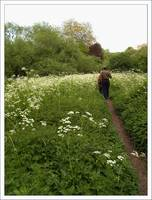 cow parsley stroll