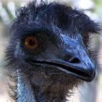 """emu - I See Emu"" by cameradreamer"