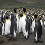 """King Penguins"" by mlenny"