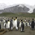"""King Penguin Colony"" by mlenny"