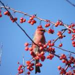 """Pine Grosbeak"" by Nyles"