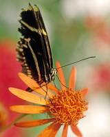Butterfly on Orange Flower Picture