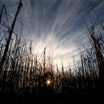 """sun and reeds"" by johncurley"