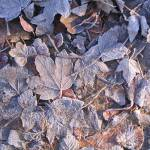 """FROSTY LEAVES"" by SoniaMiller"