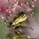 """Cherry blossoms-Butterfly and Bubbles"" by tricia"