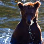"""Young Grizzly on the Russian River"" by lancehankins"