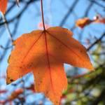 """Tangerine Leaf"" by myprojectlife"