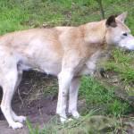 """""""Dingo"""" by loisjomm"""
