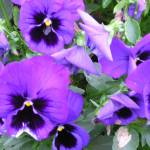 """purple pansies"" by photographsaroundtheworld"