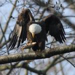"""""""Eagle checking out his catch"""" by AngelCher"""