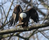 Eagle checking out his catch