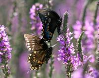 Butterflies  ~  black on lilac