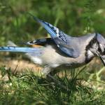 """""""BlueJay IMG_1993"""" by AngelCher"""