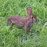 """""""wild Rabbit 7-30-07-191"""" by AngelCher"""