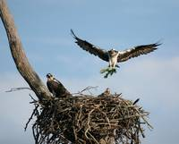 Osprey mama with some leaves  IMG_7556