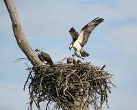 Osprey daddy with Fish for Dinner!