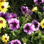 """purple petunias with yellow daisies"" by photographsaroundtheworld"