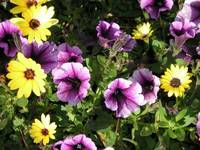 purple petunias with yellow daisies