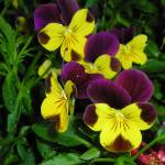 """purple and yellow pansies"" by photographsaroundtheworld"