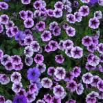 """purple petunia fields forever!"" by photographsaroundtheworld"