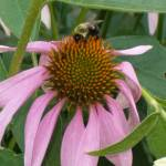 """bee on coneflower lb"" by Donnaweave"