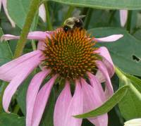bee on coneflower lb