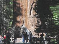 A Mariposa Grove 17 Tunnel Tree 2