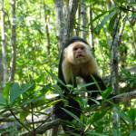 """Capuchin Monkey, Damas Estuary, Costa Rica"" by hahnick"